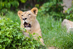 The portrait of White lion Stock Images