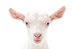 Portrait of a white little goat closeup Stock Images