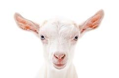 Portrait of a white little goat closeup