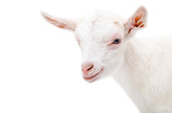 Portrait of a white little goat Royalty Free Stock Image