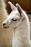 Portrait of white llama Royalty Free Stock Images