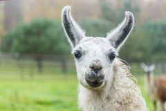 Portrait of a white Llama on green background. Close up photograph of a white and brown llama`s head stock image