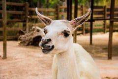 Portrait of a white llama, Lama glama stock photography