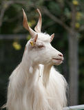 Portrait of a white male goat. Portrait of a billy goat Stock Photo