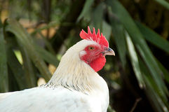 Portrait of white maran chicken Royalty Free Stock Photos