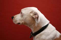 Portrait of white mongrel dog. Side portrait of white mongrel dog with red background Royalty Free Stock Image