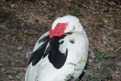 Portrait of White Muscovy duck. Portrait of White Muscovy duck ,Musky duck with red nasal corals in the park Royalty Free Stock Photo