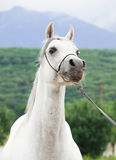 Portrait of white nice purebred arab Royalty Free Stock Photo