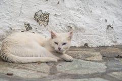Portrait of white odd eyed kiten stock photos