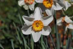 Portrait of white-orange narcissus flower in the spring time garden. Macro photography of living nature stock images