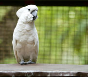 White parrot. Portrait of a white parrot stock photography
