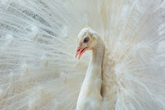Portrait of White Peacock Stock Images