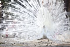 White peacock shows its tail feather. Portrait Of White Peacock During Courtship Display,white peacock shows its tail feather Royalty Free Stock Photography