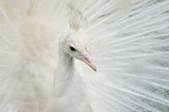 Portrait of a white peacock royalty free stock photos