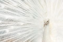 Portrait of a white peacock, with open feathers, performing the bridal dance. Background unfocused royalty free stock images