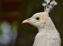 Portrait White Peafowl Bird Elegant stock photo