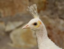 Portrait of a white peahen - Pavo cristatus. White peacocks are not albinos. Albino animals and birds have a complete lack of color and red or pink eyes. White royalty free stock photography