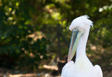 Portrait of a white pelican Stock Images