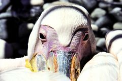 Portrait of white pelican, Cyprus Stock Photography