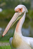 Portrait of white pelican Royalty Free Stock Photos