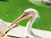Portrait of a white pelican on a pond on a summer day Royalty Free Stock Photography