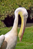 Portrait of white pelican Royalty Free Stock Photography