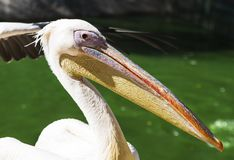 Portrait of a white pelican on a summer day Royalty Free Stock Images