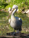 Portrait of a white pelican at the zoo Royalty Free Stock Images