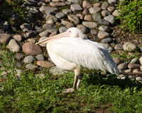 Portrait of a white pelican at the zoo Royalty Free Stock Photos