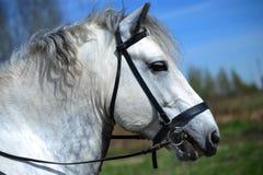 Portrait of white Percheron horse. Portrait of white bridled Percheron horse Royalty Free Stock Image