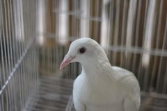 Portrait of White Pigeon Royalty Free Stock Photos