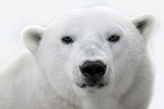 Portrait of a white polar bear. Royalty Free Stock Image