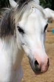 Portrait of a white pony stock photos