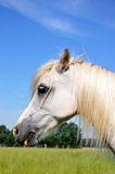 Portrait of a white Pony Stock Photography