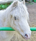 Portrait of white pony. Portrait of nice white pony with plaits stock photography