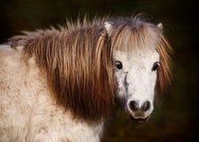 Portrait of White Pony Royalty Free Stock Image