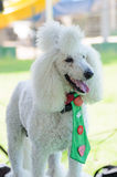 Portrait of a white poodle in a green home tie Stock Photography