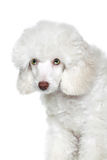 Portrait of a white poodle puppy with green eyes Stock Photo