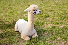 Portrait of a white pretty alpaca sitting in a summer green meadow, copy space royalty free stock photos