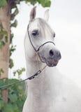 Portrait of white  purebred arab Stock Image