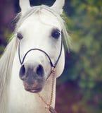 Portrait of white  purebred arab. Stock Photos