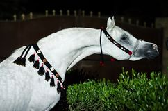 Portrait of white purebred egyption arabian stallion at night. Egypt royalty free stock image