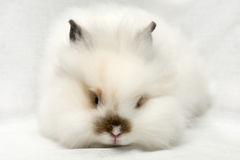 Portrait of a white rabbit Stock Image