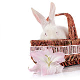 Portrait of a white rabbit in a basket with a lily flower. Stock Photos