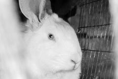 Portrait of the white rabbit Royalty Free Stock Photo