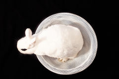 Portrait of white rabbit in white bowl. White rabbit sitting in bowl and looking to the left on black background Royalty Free Stock Image