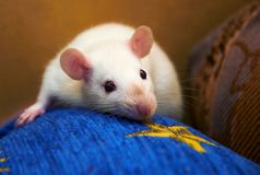 Portrait of white rat. Royalty Free Stock Photo
