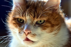 Portrait of a white-red-haired cat Royalty Free Stock Images