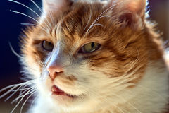 Portrait of a white-red-haired cat Stock Photo