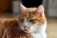 Portrait of a white-red-haired European cat Stock Images